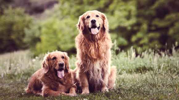 A Pair Of Golden Retrievers Sitting In The Grass