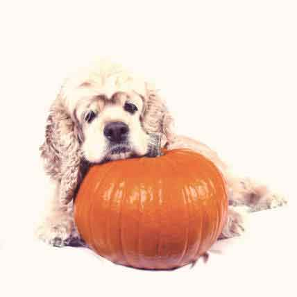 5 Great Benefits of Pumpkin for Dogs