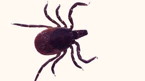 All About Deer Ticks