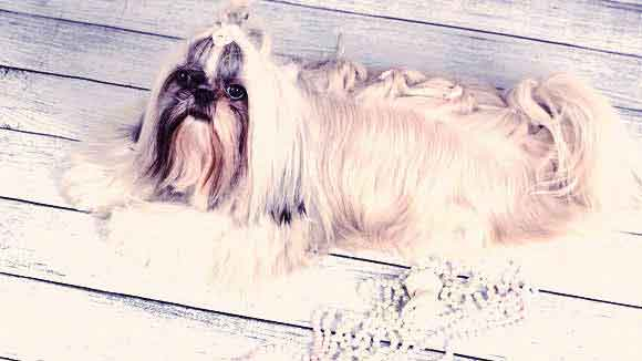 About the Shih Tzu