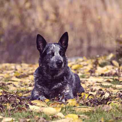 Australian Cattle Dog Health Information