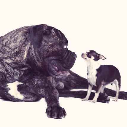 Big Dogs vs. Small Dogs: A Face-Off Between Dog Breeds by Size