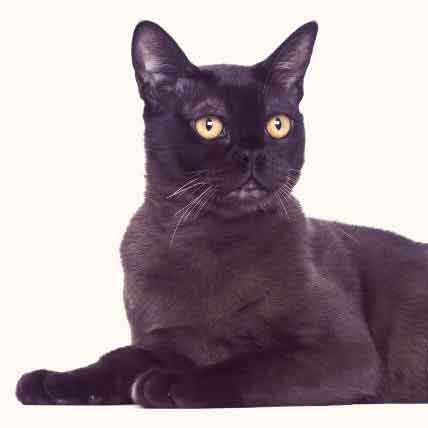 Beautiful Black Cat Breeds