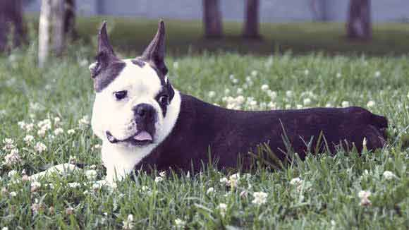 Boston Terrier Dog Training