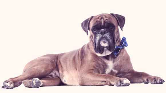 Boxer Breed Health