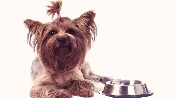 A Yorkshire Terrier Sitting Next To A Food Bowl