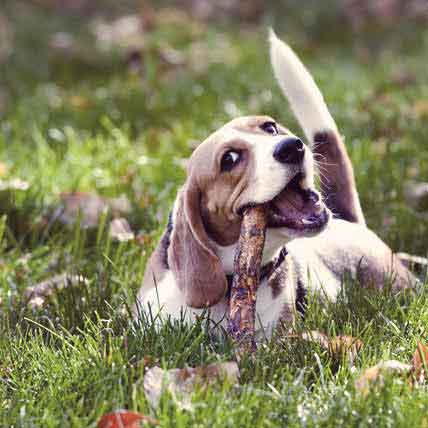 How to Care for a Beagle Dog