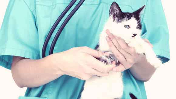 Causes and Treatments for a Cat Heart Murmur