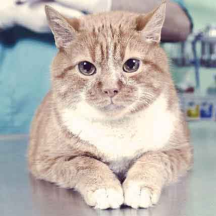 Cat Vaccinations: What to Expect