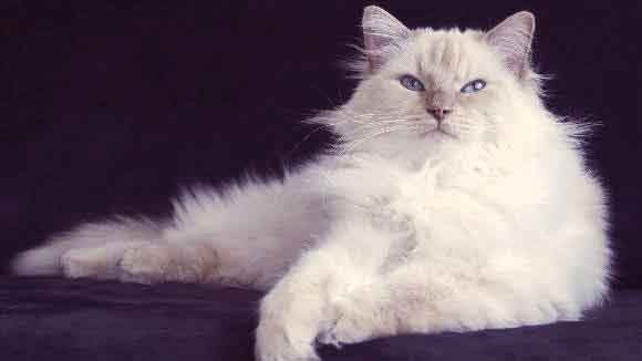 8 Types of Cats with Blue Eyes