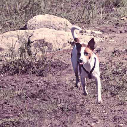 Characteristics of Rat Terrier Dogs