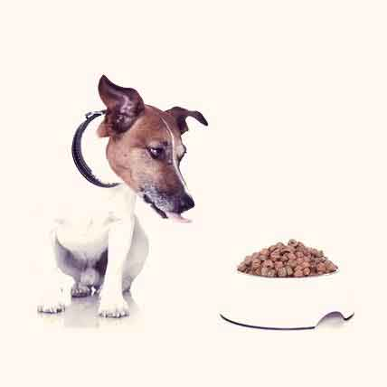 The Diets for Jack Russel Terriers