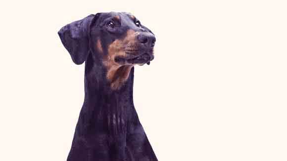 Why Dock a Doberman Pinscher's Ears?