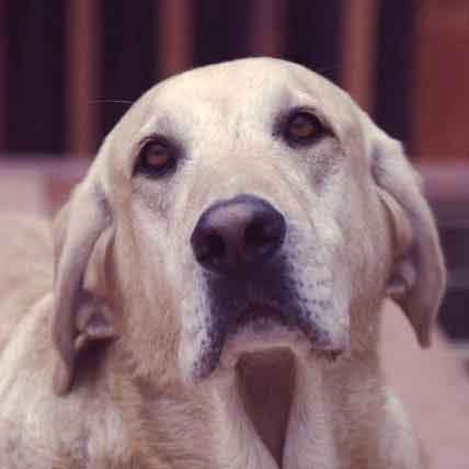 Dog Dementia: How it Affects Aging Dogs