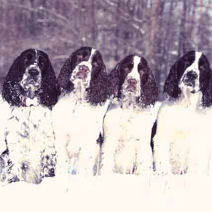 Springer Spaniel Information: Health