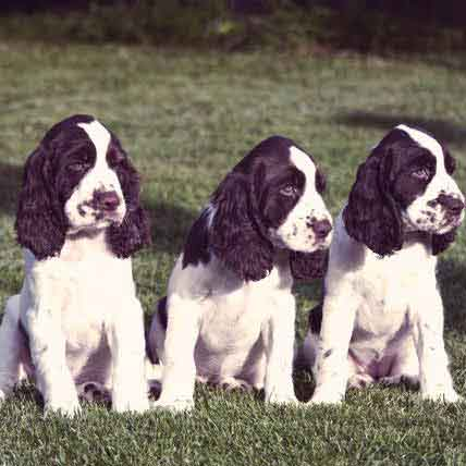 How Much Do English Springer Spaniels Shed?