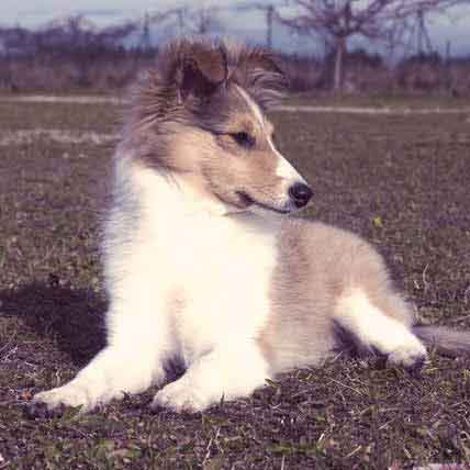 Facts & Characteristics of Shetland Sheepdogs