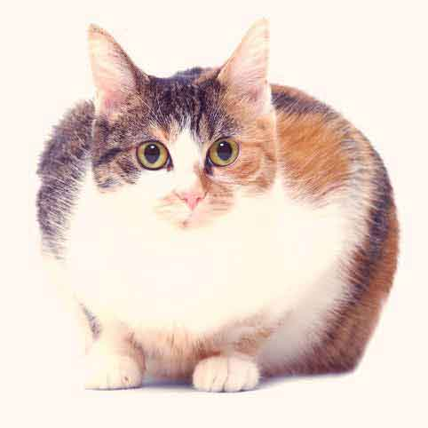 Do You Have an Obese Cat?
