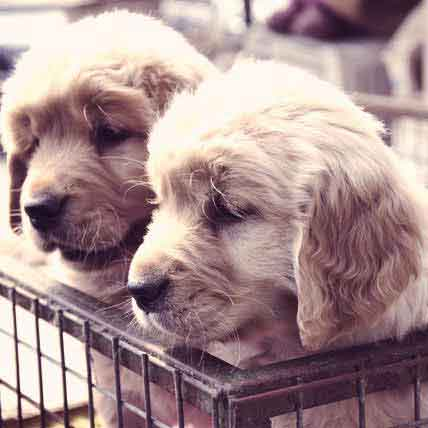 Golden Retriever Crate Training
