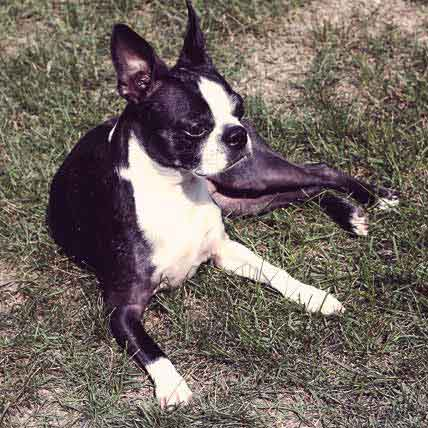 How to Groom Boston Terriers