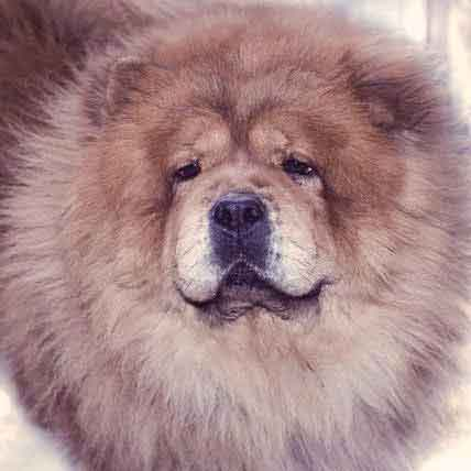 Grooming a Chow Chow to Look Like a Lion