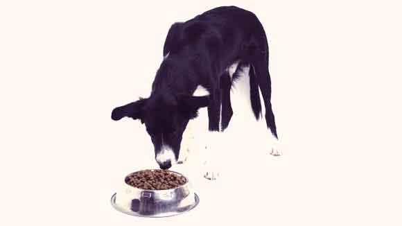 Healthy Diet for a Border Collie
