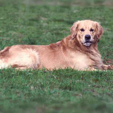 How a Healthy Dog Weight Can Prevent Disease