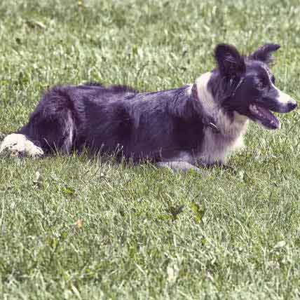 How to Train a Border Collie to Herd Cattle