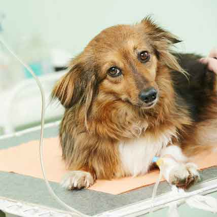 Is A Kidney Transplant Right For My Pet?