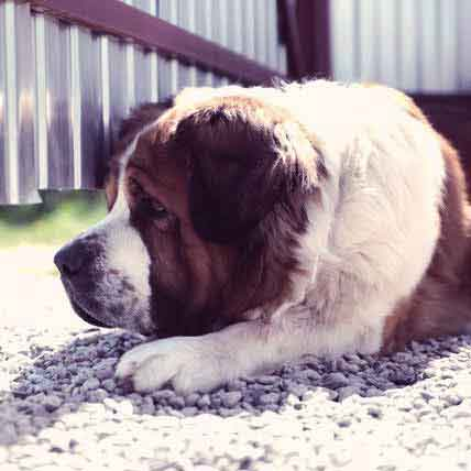 Large Dog Breed Health