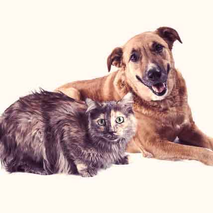 Legg-Perthes Disease In Dogs And Cats