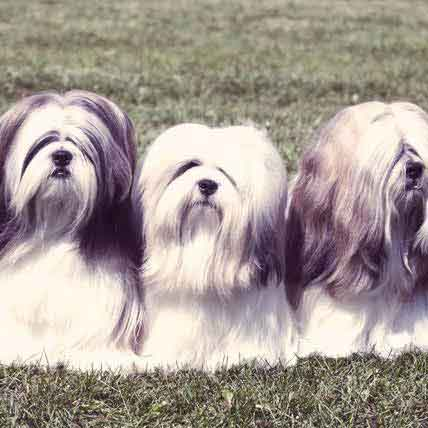 Concerning Your Lhasa Apso's Health