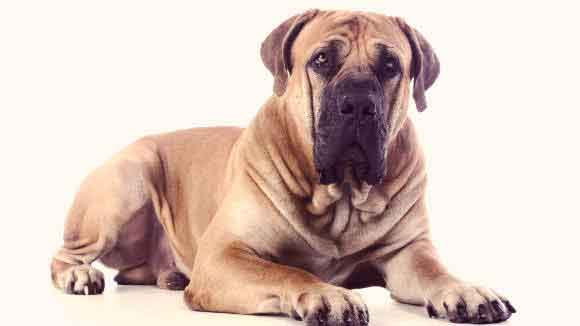 What Are the Largest Dog Breeds?