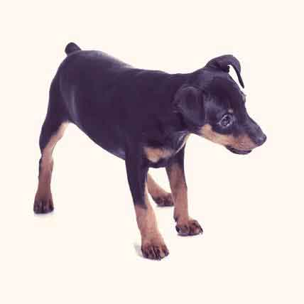 Miniature Pinscher: Breed and Health Information