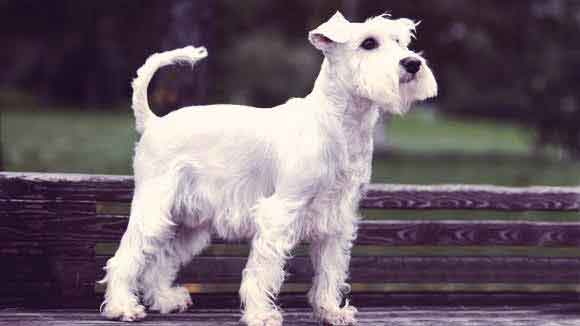 Miniature Schnauzer Information: Health