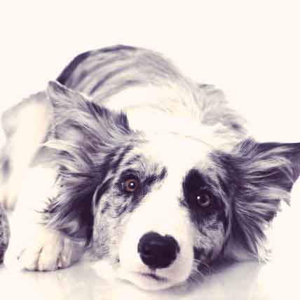 Muscular Dystrophy In Dogs And Cats