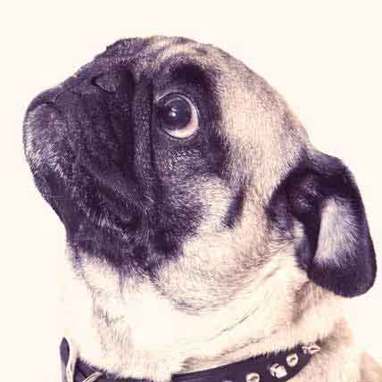 Obedience and House Training for Your Pug