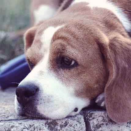 Parvo Symptoms in Dogs