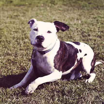 Pit Bull Common Health Problems