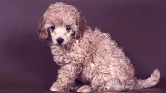 Poodle Information: Health