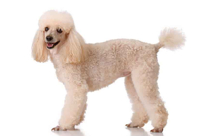 as well Poodle Type Dog Breeds in addition Types Of Poodle Haircuts ...