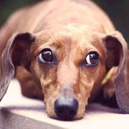 How to Quiet a Barking Dachshund Dog