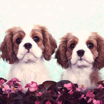 Serving Size for a Cavalier King Charles Spaniel