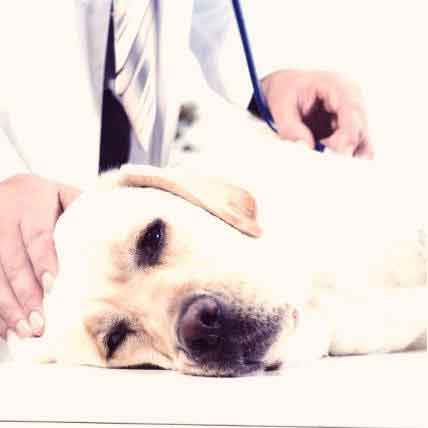 7 Risk Factors for Congestive Heart Failure in Dogs