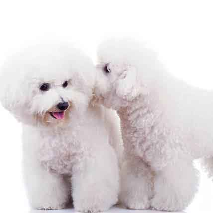 Socialize Your Bichon Frise