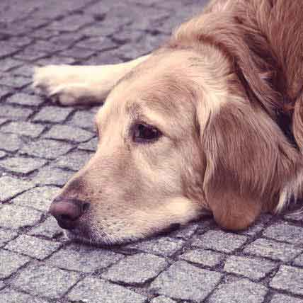 Symptoms of Addison's Disease in Dogs