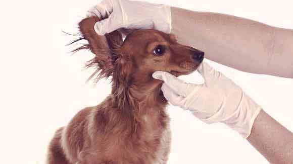 The Symptoms of Ear Infections in Dogs and Cats