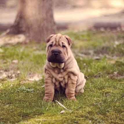 The Shar-Pei Temperament: Personality And Training Considerations