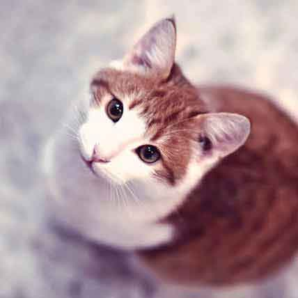 Treating Hyperthyroidism in Cats