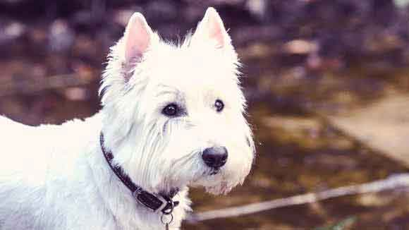 What Do I Feed a West Highland White Terrier?